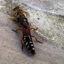 Kaiserlicher Kurzflügler (Rove beetle)