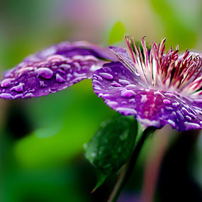 Purple Rain by John Larson - Flowers Single Flower