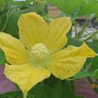 Ash Gourd (flower to fruit)