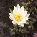 Nenúfar / Flor de loto