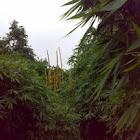 Bamboo ( Baans : बाँस )