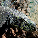 Salvadori's monitor, Crocodile monitor, Papua(n) monitor or Artellia