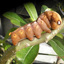 Moth hawk cattepillar.