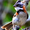 Rufous-Naped Sparrow