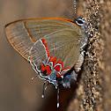 Dusky Blue Hairstreak Butterfly