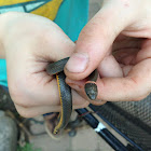 ring neck snakes