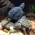 Alligator snapping turtle (juvenile) and common musk turtle