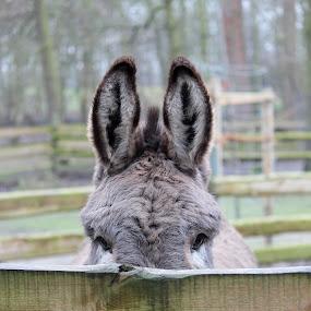 Donkey playing peek-a-boo by Birgit Vorfelder - Animals Other Mammals ( long ears, donkey, ears, peek a boo, animal, eyes,  )