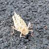 Banded winged grasshopper