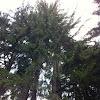 Norwalk spruce