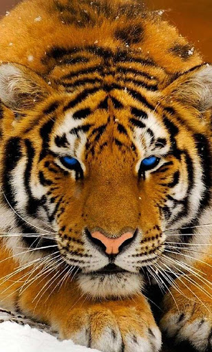 Tiger Jungle live wallpaper