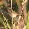 Golden-headed Cisticola (female)