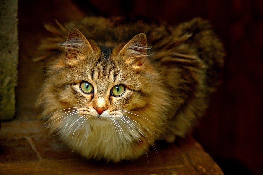 by Mario Sanna - Animals - Cats Portraits