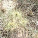 Beach Roller grass