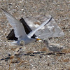 California Least Tern (colony)