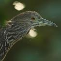 Striated Heron (juvenile)