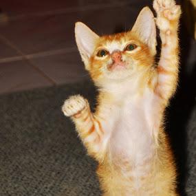 cat by Alvi Eko Pratama - Animals - Cats Playing ( animals, cat, stand, up, animal,  )