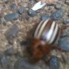 Strange beetle