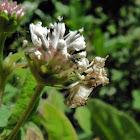White Ambush bug