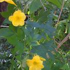 Yellow elder/Yellow Trumpetbush