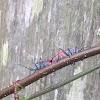 Red-shouldered Bug
