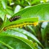 Tachinid fly & Caterpillar
