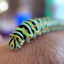 Anise Swallowtail caterpillar