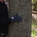 Tupelo tree - huge!