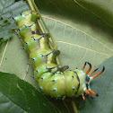 Regal Moth larva