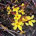 Winter flowering Jasmine