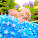 ball flower