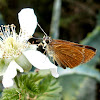 Skipper Butterfly.