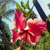 Hibiscus, China Rose