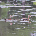 Black bellied whistling duck family