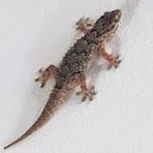 Common or Moorish Wall Gecko