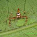 wide jawed viciria (female)