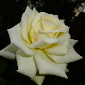 White Beauty by Arun Veeramani - Flowers Single Flower ( rose, nature, attractive, beautiful, white,  )