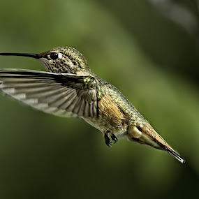 Hummingbird 5 by Sheldon Bilsker - Animals Birds ( bird, flight, nature, hummingbird, animal,  )