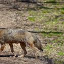 Coyote - female