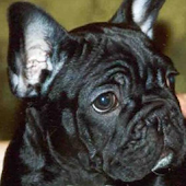 French Bulldog HD Pictures