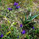 Astragalus arenarius
