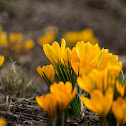 Dutch yellow crocus