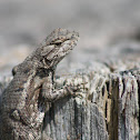 Prairie Lizard
