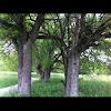 Mixed Mott (group of trees)