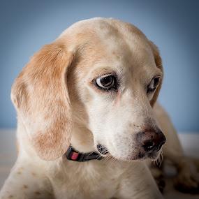 Bailey the Beagle by Stuart Partridge - Animals - Dogs Portraits