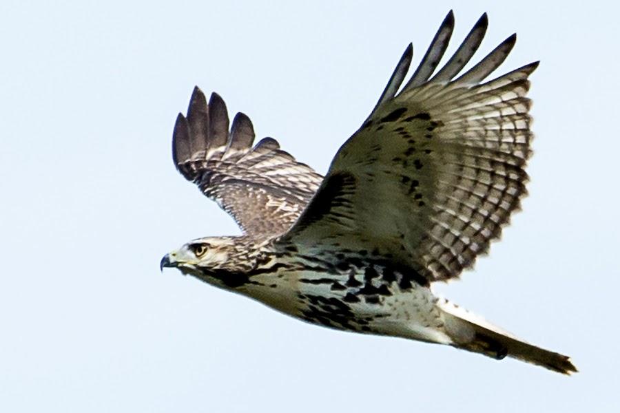 Red-tail Flyover by Stan Lupo - Animals Birds ( birds of prey, red-tailed hawks, avian photography, hawk in flight, hawks, wildlife, bird photography, raptors, birds in flight, , bird, fly, flight )