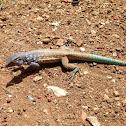 Bonaire whiptail lizard