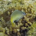 Brighteye Damselfish