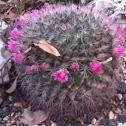 Mammillaria Sp