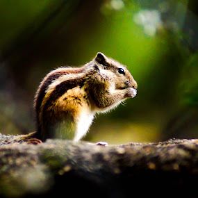 Squirrel by Faizan Hussain - Animals Other Mammals ( wild, nature, nuts, trees, squirrel, colours,  )